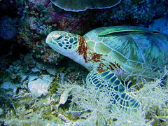 Hawksbill Turtle, Clarence's Wall, Palau (mattk1979) Tags: sea coral island underwater turtle scuba diving pacificocean hawksbill reef palau clarenceswall