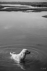 Labrador de marismas. (jcof) Tags: bw dog blancoynegro ro river landscape huelva paisaje bn perro marismas rompido ropiedras flechadelrompido