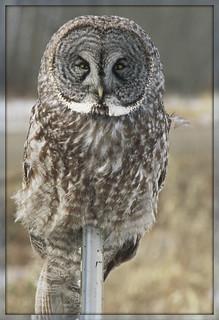 *Pole Sitter*: Great Gray Owl ~ II.