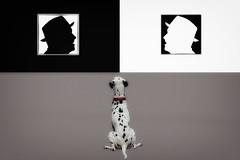 Pinto (beelzebub2011) Tags: portrait bw dog canada composite vancouver britishcolumbia dalmatian selectivecoloring