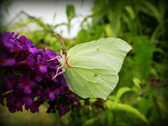 Gonepteryx Rhamni (PicsTommy) Tags: macro butterfly bug insect animalplanet citron potofgold gonepteryxrhamni animaladdiction macrodreams holycreationsofnature papilloncitron macrogroups