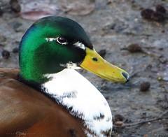 Duck (Pat's_photos) Tags: duck mallard darkgreen 365d