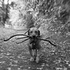 Cody (Kayleigh McCallum) Tags: boy cute lensbaby photography labrador cody 2013 foxredlabrador