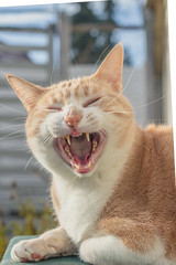 Stanley (No_Water) Tags: red orange brown white cute cat ginger tiger yawn stanley