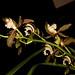 Cym. tracyanum 'Burmese Bronce' – Warren Stehle
