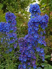 P1090909 (klaus nickel) Tags: garden delphinium {vision}:{text}=0505 {vision}:{plant}=0583 {vision}:{outdoor}=0574 {vision}:{flower}=0584