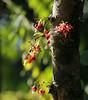 Averrhoa bilimbi (life-is-color) Tags: usa garden botanical florida miami tropical fairchild averrhoa bilimbi averrhoabilimbi
