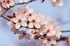 Flor (David Fotografa) Tags: flores rbol salamanca rosado floreciendo canon400d