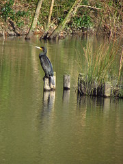 Look Out (fabbird1964) Tags: lake reflection bird water swansea wales cormorant neath gnollpark
