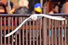 Black-headed Gull in Shinobazu Pond /  (Dakiny) Tags: park winter bird birds animal animals japan zoo tokyo photo nikon ueno seagull gull photograph  february waterfowl tamron    uenopark    2014 taito uenozoo  2   blackheaded         a005 d5100 modela005 2014