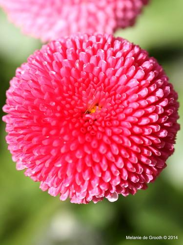 Pink Daisy Flower 2