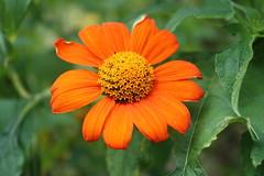 (Leanna Bennett) Tags: flowers orange flower green bright august2013