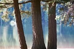 Westwood Lake Study - 1 (of 3) - Yashica FX-3 & Zeniton 200 mm 1:4.5 Telephoto & Fuji ISO 200 Film (Logos: The Art of Photography) Tags: yashicafx3 westwoodlake zeniton200mm145telephoto fujinon12255mmprime 35mmfilm fujifilmiso200 bokeh vintageprime vintage fujinon55mm