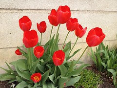 Tulips2_75