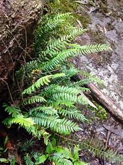 Sickle Fern (Pellaea falcata) Yarra Vally, Victoria, Australia (Adam759) Tags: pteridaceae pellaea arfp vrfp arffern pellaeafalcata cooltemperatearf warmtemperatearf