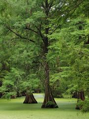 Greenville - Tree Swamp (Drriss & Marrionn) Tags: bluestrail2014 greenville mississippi outdoor bayou swamp nature preserve green tree trees cypresstrees water creek plant plants landscape usa greenvillecypresspreserve