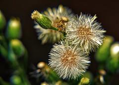 Blended Asteraceae_1048 (gtveloce) Tags: garden weeds blended fusedimages