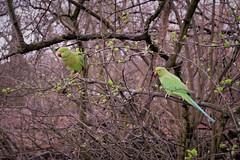 hydepark parakeet perching