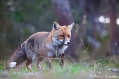 Volpe Rossa (Castello foto) Tags: wildlife wildfotography wild sottobosco bellezza