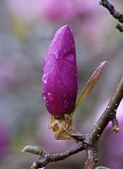 rain drops on tulip tree bud (Pejasar) Tags: raindrops bud flower bloom blossom spring 2017 tuliptree magnoliafamily tree flowering