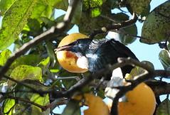 Tui singing in a mandarin tree (Daniel Menzies) Tags: tui bird animal wildlife tree mandarin fruit orange citrus leaf branch prosthemaderanovaeseelandiae newzealand
