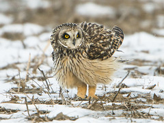 Short-eared Owl Puffing (Thomas Muir) Tags: asioflammeus tommuir art woodcounty bowlinggreen ohio nikon 600mm d800
