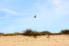 (sidmuchrock) Tags: beach vulture buzzard