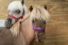 two (Lori Greig) Tags: horses pets animal closeup miniature spring eyes texas affection small houston ears whiskers size thinking friendly ponies breed hiding bit halter equine mane gentle wary wideeyed bridle timid foal trusting cannonrebel againstwood wabashantiquesfeedstore