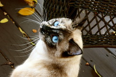 Lovely Lola (sabinaVictoria) Tags: blue summer beautiful leaves yellow cat austin spring eyes feline texas gorgeous blueeyes lola siamese whiskers lovely