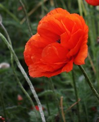 poppies 057 (cellocarrots) Tags: poppies