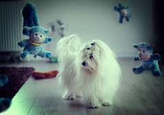 Creepy afternoon (Bettinadam) Tags: dog composite photoshop denmark toys photo afternoon manipulation coton creepy spooky stuffedtoys tone dogphotography cotondetulear bramming