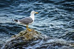 Desafiando al mar / Challenging the sea ... (aldairuber) Tags: españa mar spain playa catalonia gaviota cataluña ola tarragona