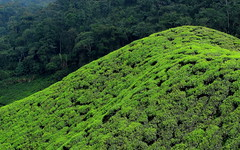 Green hills (__ PeterCH51 __) Tags: forest tea farming hills malaysia plantation tropical agriculture cameronhighlands teaplantation ringlet tropicalforest 5photosaday mywinners earthasia peterch51 flickrtravelaward