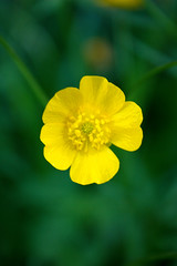 Flower (laurabaay) Tags: flowers plant flower floral yellow closeup botanical flora botanic greenbackground