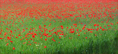 Poppy Panorama (jo92photos) Tags: poppies poppy flowers field crop organic farm arable weeds berkshire bradfield countrylife countryside england hs20exr jo92photos red rural uk westberkshire wildlifecountryside ©allrightsreserved explore green