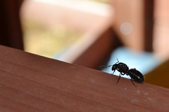 Ant (Vegan Butterfly) Tags: animal insect ant