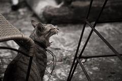 ROAR (Kaiyi.L) Tags: black cat style 貓