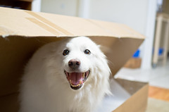 27/52 Niko~ you bought me a box! I Love it! (utski7) Tags: niko 52weeksfordogs