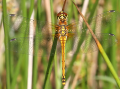 Black Darter  - Sympetrum danae (Roger H3) Tags: black insect dragonfly darter odonata