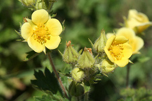 Photo - Leafy Cinquefoil