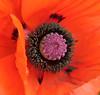Í Grasgarðinum (helga 105) Tags: red flower iceland middle rautt blóm miðja helga105