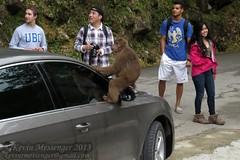 Rhesus macaque (Macaca mulatta) (Kevin Messenger) Tags: rhesus macaque macaca mulatta wuyishan fujian china 2013 kevin messenger monkey kevinmessenger canon wildlife stump tailed