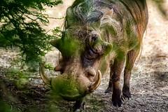 Wild Animal Park - Wart Hog (Cobbpr) Tags: wildanimal safaripark warthog