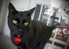 Jynx (marydenise6) Tags: boy food black dinner cat sweet kitty gato feed guest jynx notmycat somebodyelsescat neighborscat