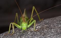 Grasshopper (KronaPhoto) Tags: summer macro green nature norway canon insect sommer natur grasshopper insekt gresshoppe 2013 canon5dmii