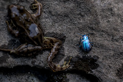 Scarab and friend 2 (Sergi Wave) Tags: blue summer mountain lake france alps montagne alpes canon insect french altitude beetle lac wave 100mm frog m bleu filter 5d 100 rana sergi insecte radial scarab coleoptera scarabe scarabaeidae coloptre proxi 2013
