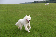 """Now I Know Why Chase Is So Happy, He Is Leading The WooFPAK Race! • <a style=""""font-size:0.8em;"""" href=""""http://www.flickr.com/photos/96196263@N07/9715633300/"""" target=""""_blank"""">View on Flickr</a>"""