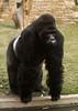 Eastern lowland gorilla 'Kisubi' (gentle lemur) Tags: antwerpzoo easternlowlandgorilla ggorillagraueri