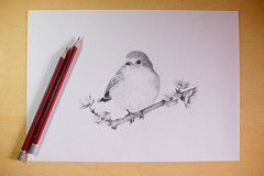 (.Mini B.) Tags: bird robin pencil european drawing lapiz canson pajaro dibujo graphite cretacolor