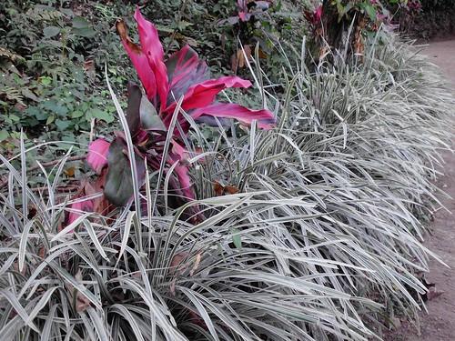 Andong  - Ophiopogon